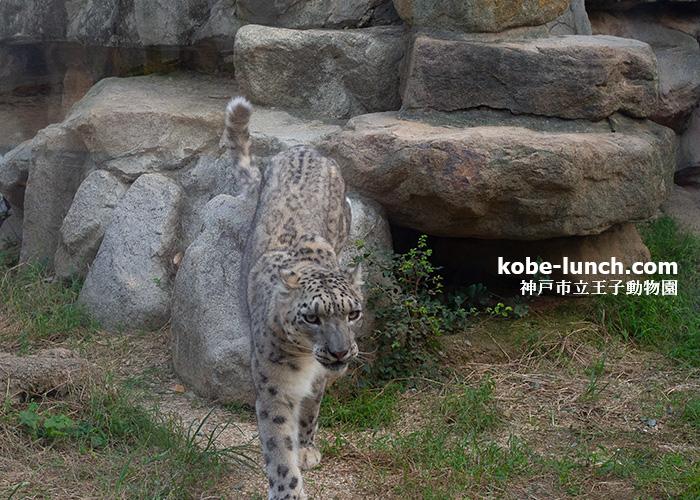 王子動物園 ユキヒョウ